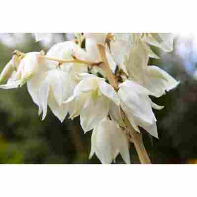 Palmlilie, 9 cm Topf
