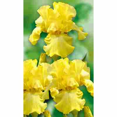 Schwertlilie, 9 cm Topf