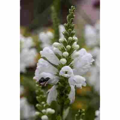 Gelenkblume 'Schneekrone', 9 cm Topf, 3er-Set