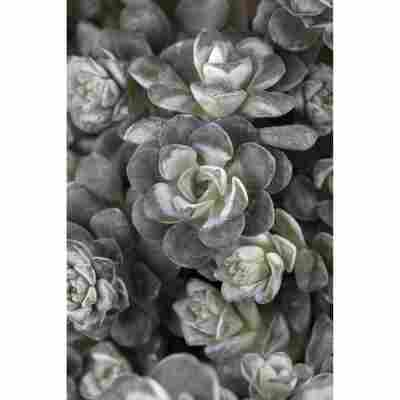 Silberspatelsedum 'Cape Blanco', 9 cm Topf, 3er-Set