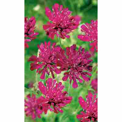 Mazedonische Witwenblume, 9 cm Topf