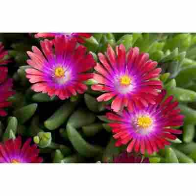 Mittagsblümchen 'Jewel of Desert Garnet', 9 cm Topf, 3er-Set