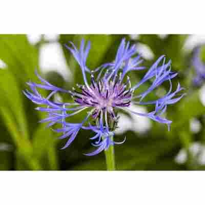 Bergflockenblume 'Grandiflora', 9 cm Topf, 3er-Set