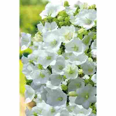 Karpatenglockenblume 'Pearl White', 9 cm Topf, 3er-Set