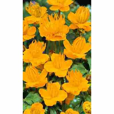 Chinesische Trollblume 'Golden Queen', 9 cm Topf, 3er-Set