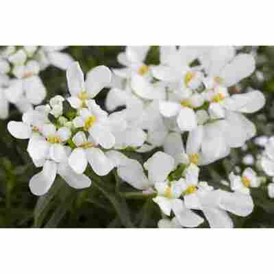 Schleifenblume 'Schneeflocke', 9 cm Topf, 3er-Set