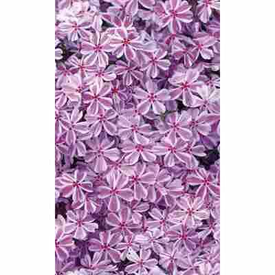 Polsterphlox 'Candy Stripes', 9 cm Topf