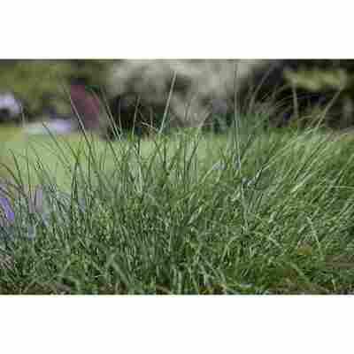 Rasen Schmiele, 19 cm Topf