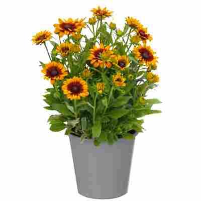 Sonnenhut 'Sunbeckia' 23 cm Topf