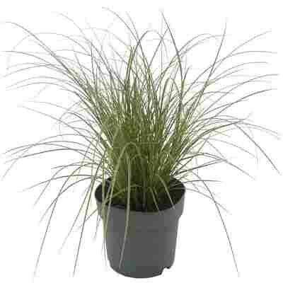 Gräser verschiedene Sorten 14 cm Topf