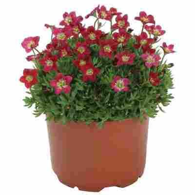 Beetpflanze oder Staude verschiedene nützlingsfreundliche Sorten 13 cm Topf