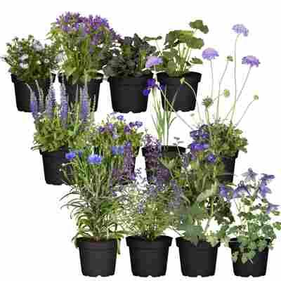 Stauden-Mix 'Blauer Garten' 12 Pflanzen für 1 m²
