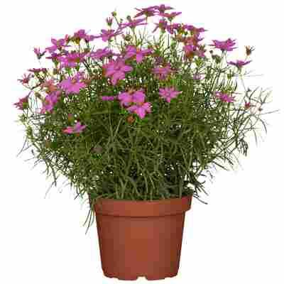 Garten-Mädchenauge 'Twinklebells Purple' 13 cm Topf, 2er-Set