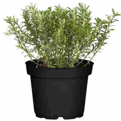 Strauchveronika Greenboys® 'Ray' 12 cm Topf, 2er-Set