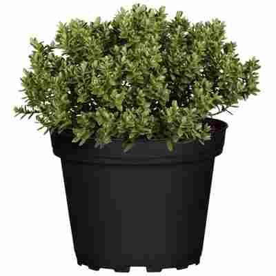 Strauchveronika Greenboys® 'Jimmy' 12 cm Topf, 2er-Set