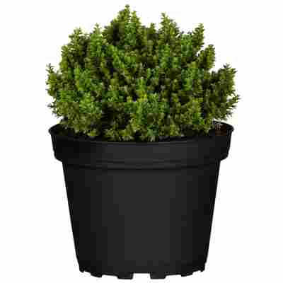 Strauchveronika Greenboys® 'Sam' 12 cm Topf, 2er-Set