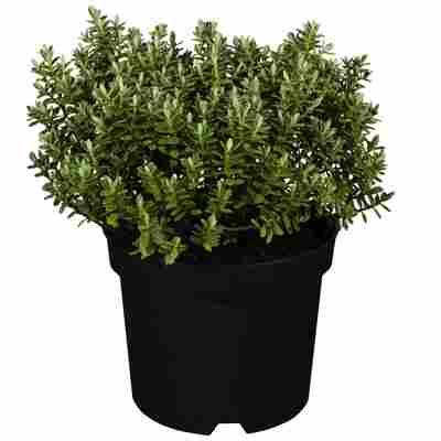 Strauchveronika Greenboys® 'Paul' 12 cm Topf, 2er-Set