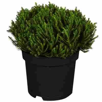 Strauchveronika Greenboys® 'Bob' 12 cm Topf, 2er-Set