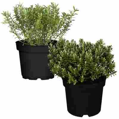 Strauchveronika Greenboys® hellgrün sortiert 12 cm Topf, 2er-Set