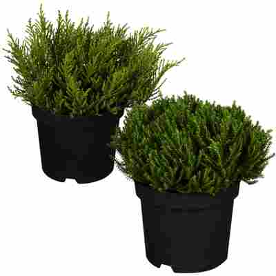 Strauchveronika Greenboys® dunkelgrün sortiert 12 cm Topf, 2er-Set