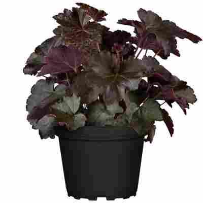 Purpurglöckchen violett 12 cm Topf, 2er-Set