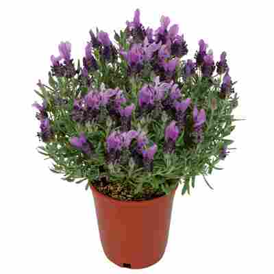 Schopf-Lavendel blau 18 cm Topf