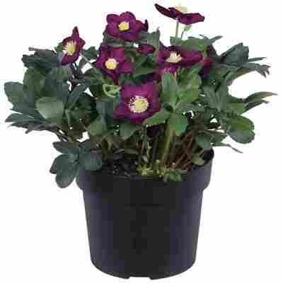 Christrose violett, 21 cm Topf