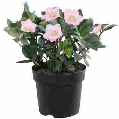 Christrose rosa, 15 cm Topf