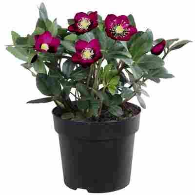 Christrose violett, 15 cm Topf