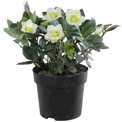 Christrose grün/weiß, 15 cm Topf