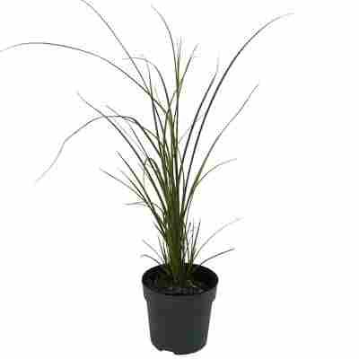 Garten-Segge 'Aureovariegata' 19 cm Topf