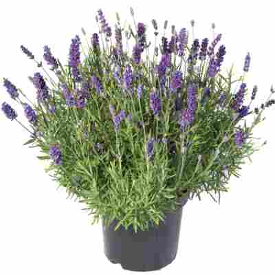 Lavendel 'Essence Purple' violett 15 cm Topf