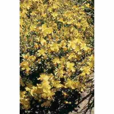 Polster-Johanniskraut 'Grandiflorum' gelb 15 cm Topf