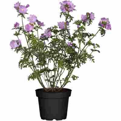 Malve 'Zebrina' weiß, violett 15 cm Topf