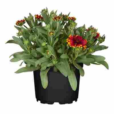 Kokardenblume 'Arizona Red Shades' rot 15 cm Topf