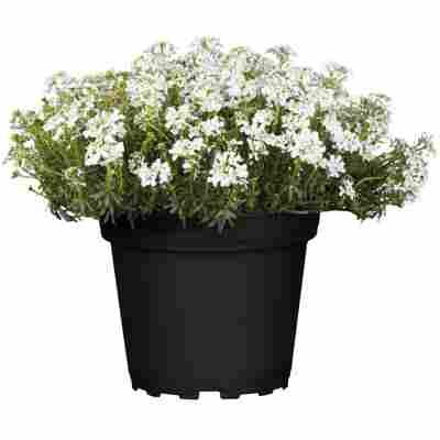 Immergrüne Schleifenblume 'Fischbeck' weiß 15 cm Topf