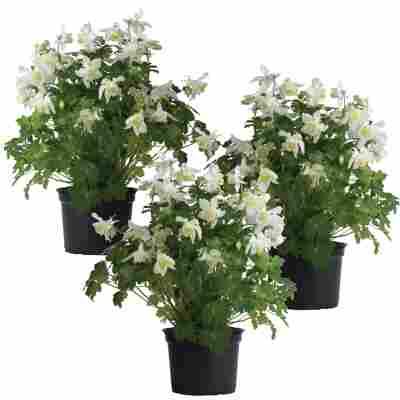 Akelei 'Spring Magic White' weiß 11 cm Topf, 3er-Set