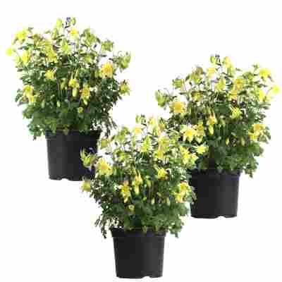 Akelei 'Spring Magic Yellow' gelb 11 cm Topf, 3er-Set