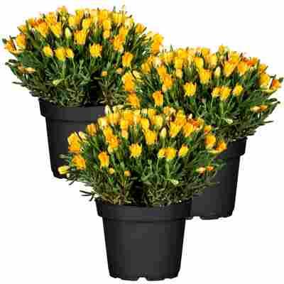 Mittagsblume gelb 11 cm Topf, 3er-Set