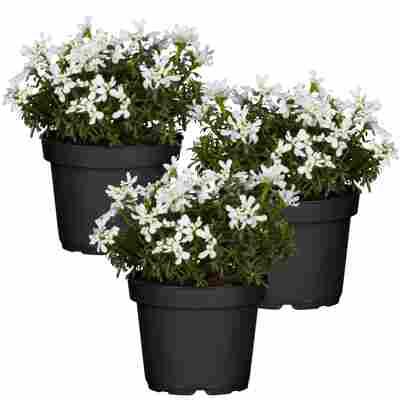 Immergrüne Schleifenblume 'Fischbeck' weiß 11 cm Topf, 3er-Set