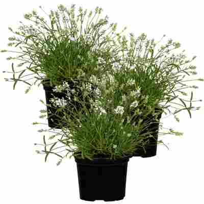Lavendel 'Edelweiß' weiß 11 cm Topf, 3er-Set