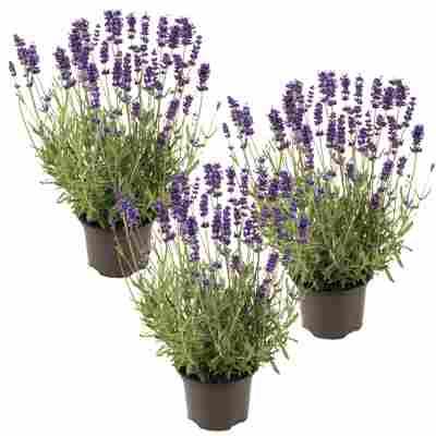 Lavendel 'Hidcote Blue' blau 11 cm Topf, 3er-Set