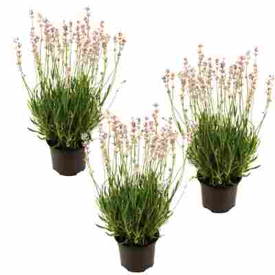 Lavendel 'Rosea' rosa 11 cm Topf, 3er-Set