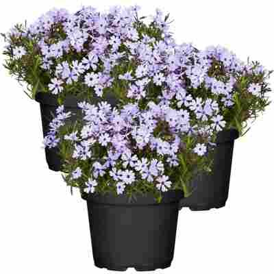 Polsterphlox 'Purple Beauty' violett 11 cm Topf, 3er-Set
