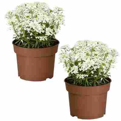 Immergrüne Schleifenblume 'Tahoe' weiß 13 cm Topf, 2er-Set
