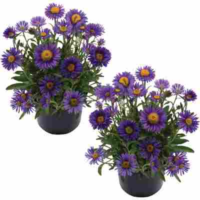 Alpen-Aster 'Violet' violett 13 cm Topf, 2er-Set