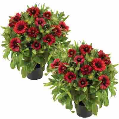 Kokardenblume 'Mesa Red' rot 13 cm Topf, 2er-Set