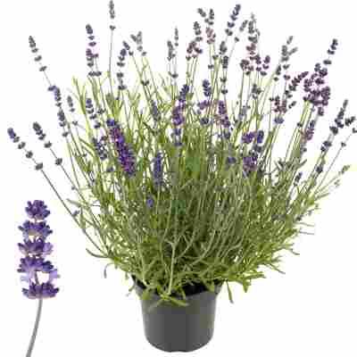 Lavendel 'Ardèche' violett 17 cm Topf