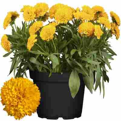 Mädchenauge 'Solanna Golden Sphere' gelb 17 cm