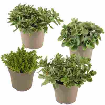 Fetthenne grünlaubig 10,5 cm Topf, 4er-Set